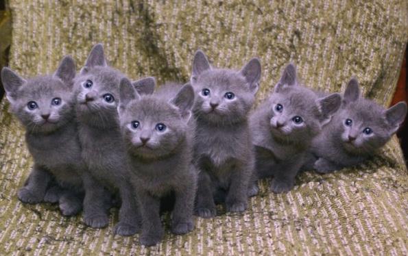 Картинки по запросу самые дорогие кошки