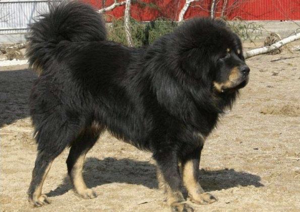 одна из самых дорогих пород в мире - тибетский мастиф