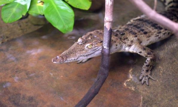 filipinskiy-krokodil