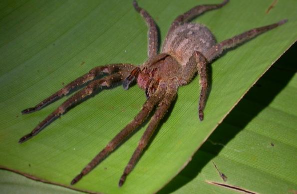 Cамый ядовитый паук в мире
