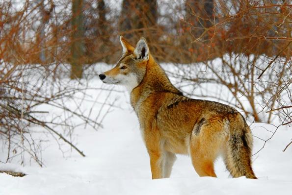 red-volk