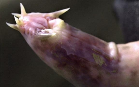 миксина – бесчелюстная рыба