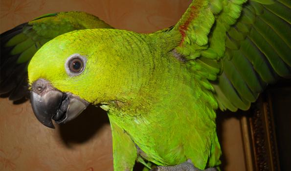 Какие попугаи самые умные?