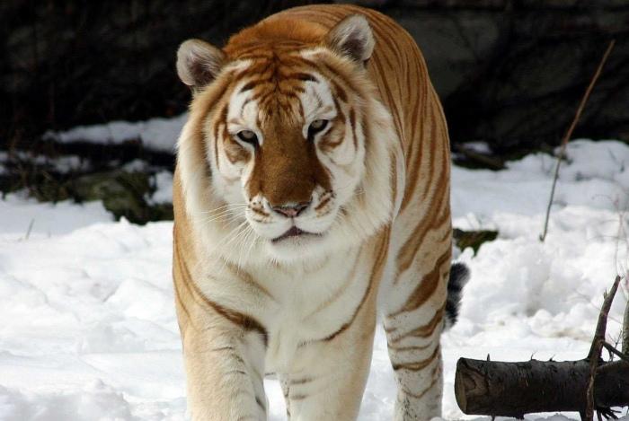 zolotoy-tigr