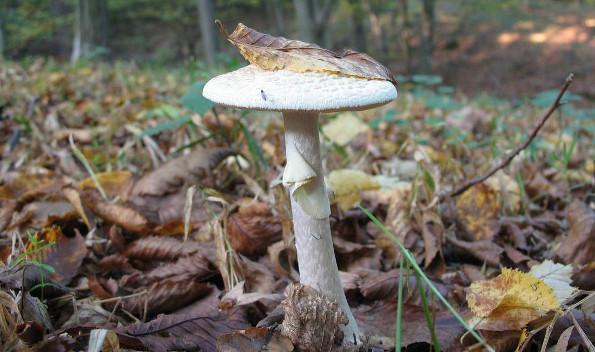 Самые опасные грибы