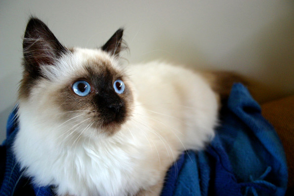 Самые милые породы кошек