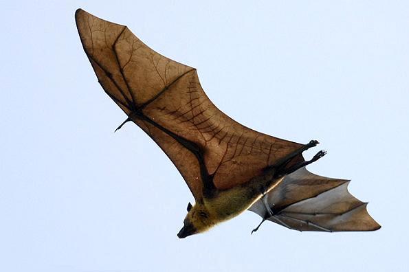 Самая большая летучая мышь в мире