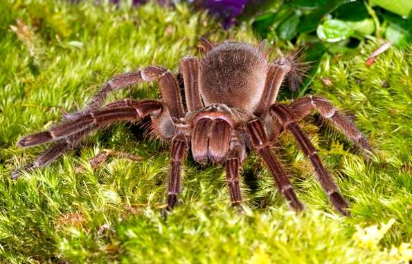 Самый крупный паук на планете