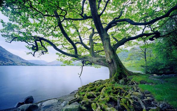 Самое долгоживущее дерево
