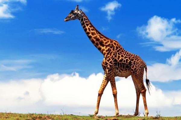 Cамый высокий жираф в мире