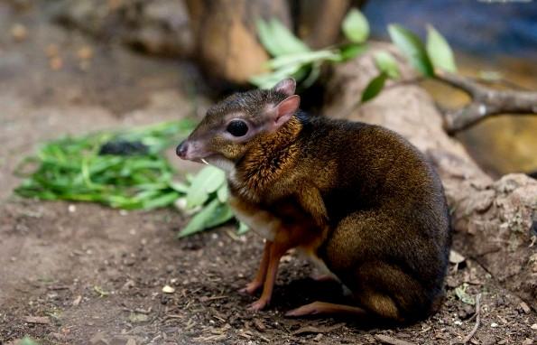 Самое маленькое парнокопытное в мире