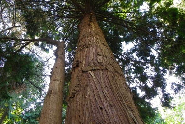 Самое высокое дерево в Канаде