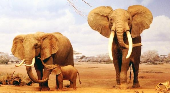 Самое большое животное Африки - слон