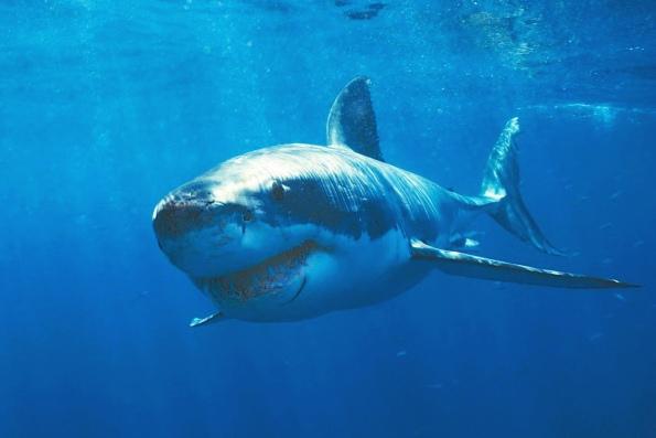 самая опасная большая белая акула