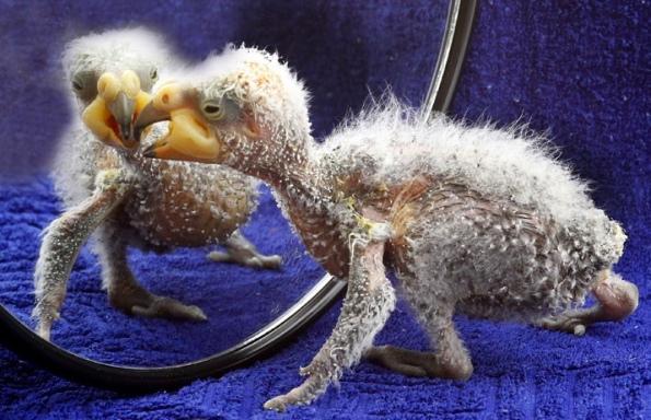 новорожденный попугай Кеа