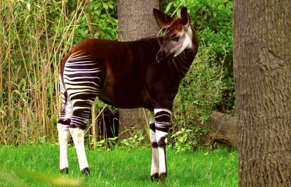 окапи - самое редкое животное африки