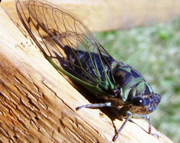 пение самцов цикад