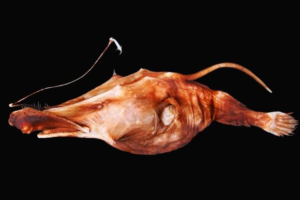 Самая глубоководная рыба в мире