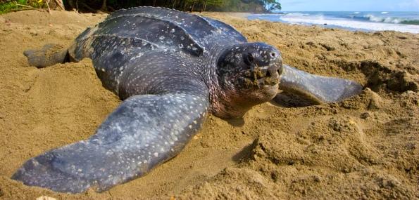 морская кожистая черепаха