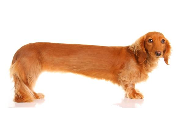 Самая длинная порода собак