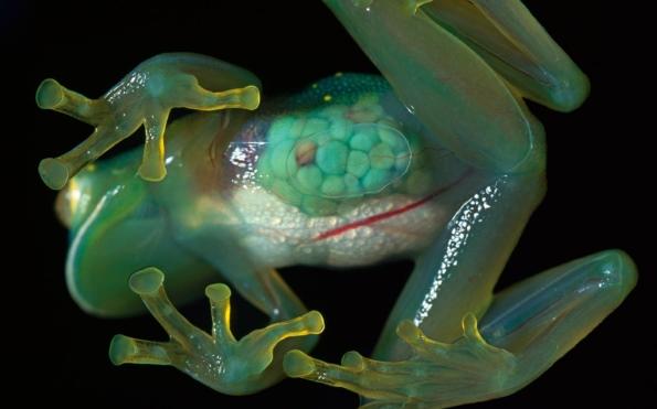стеклянная лягушка