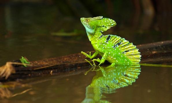 зеленой игуане