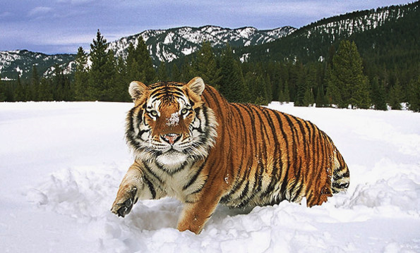 интересные факты об амурском тигре