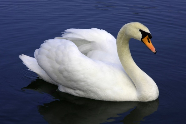 О лебедях