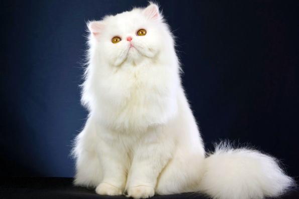 Самые пушистые породы кошек
