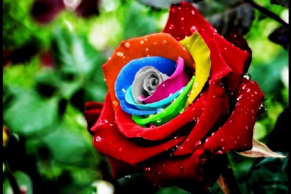 Самые дорогие розы