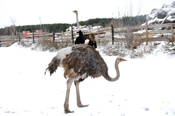интересные факты о страусе