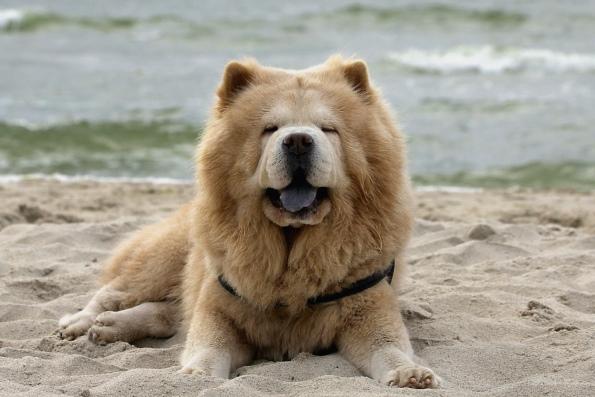 Собака с синим языком