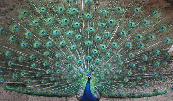 зеленый павлин