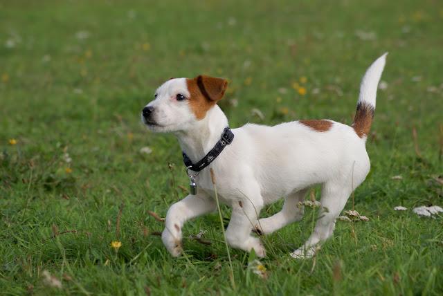 Jack-Russell-Terrier5