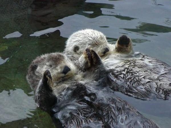 cute-sea-otters06