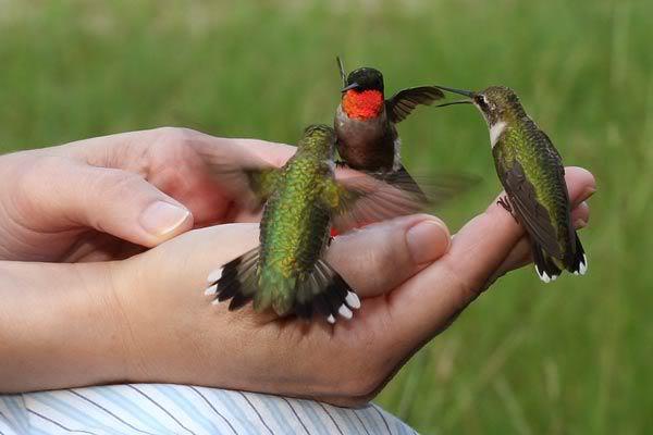 kolibries002