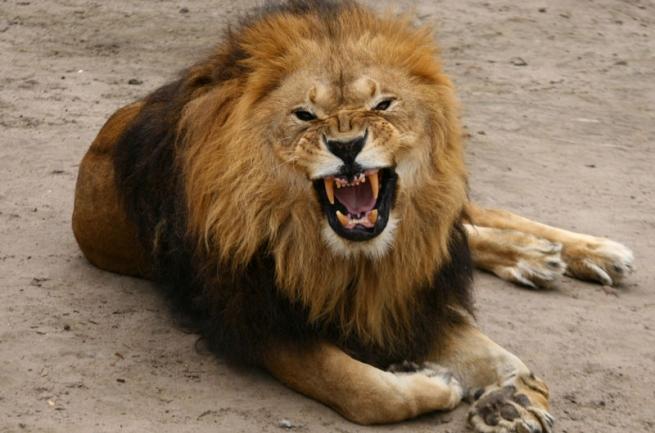 lion_0
