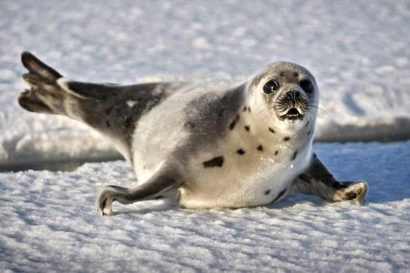 Удивительное о тюленях