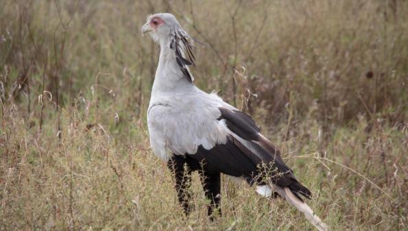 интересные факты о птице секретаре