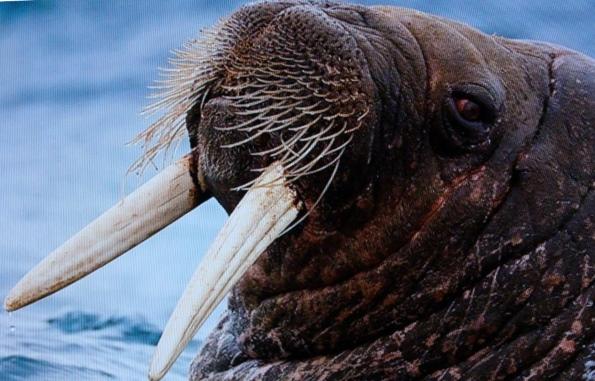 моржи - интересные факты
