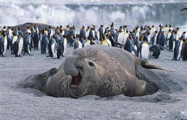 morskoj-slon