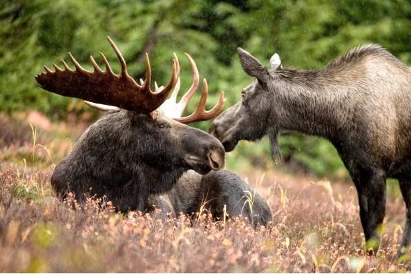 Интересные факты о лосях