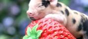интересные факты о свиньях