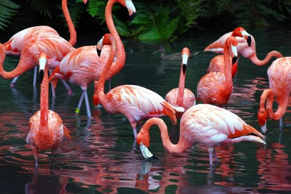 О фламинго