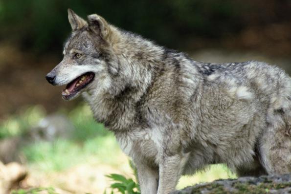 о Волке