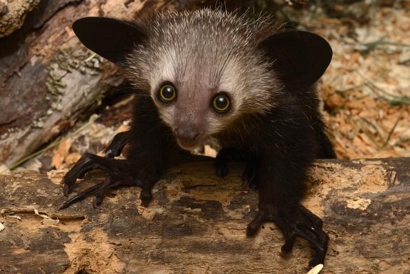 Мадагаскарская руконожка (Ай-ай)