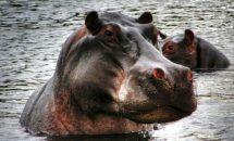 О бегемотах