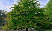 Самое крепкое дерево в мире - железное