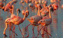 Почему фламинго розового цвета