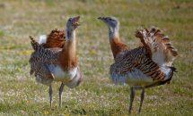 Интересные факты от птице Дрофа